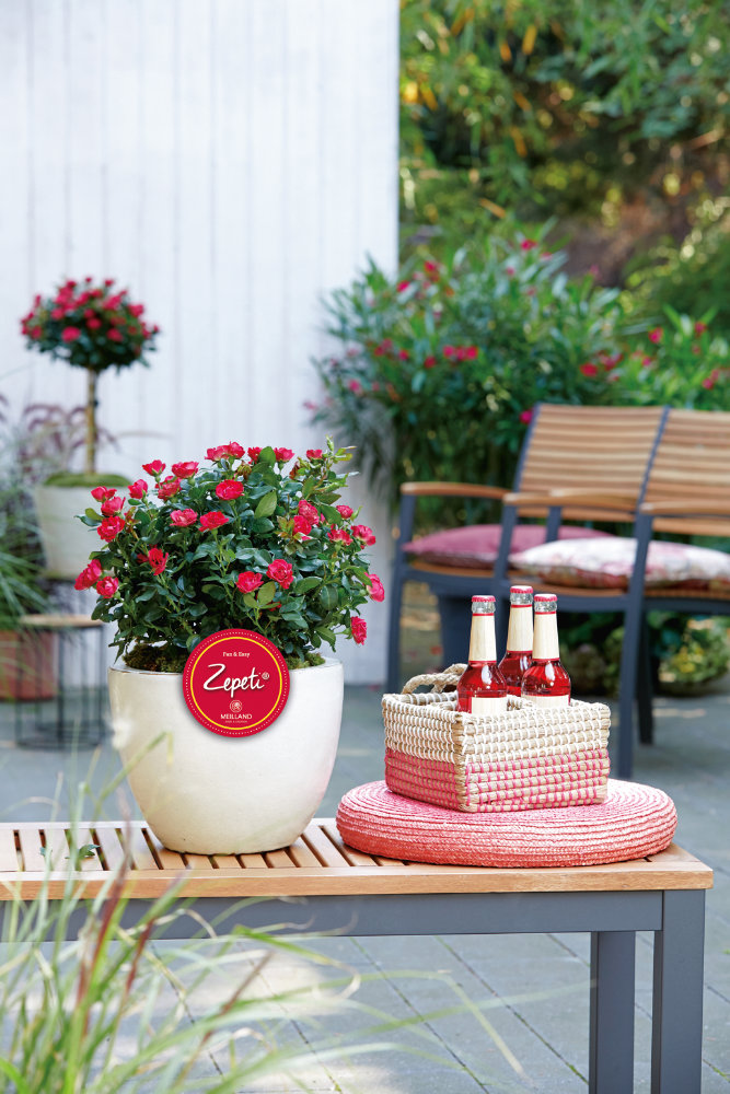 Zepeti® – das Blühwunder unter den Rosen. Foto: Baumschule zu Jeddeloh Pflanzen